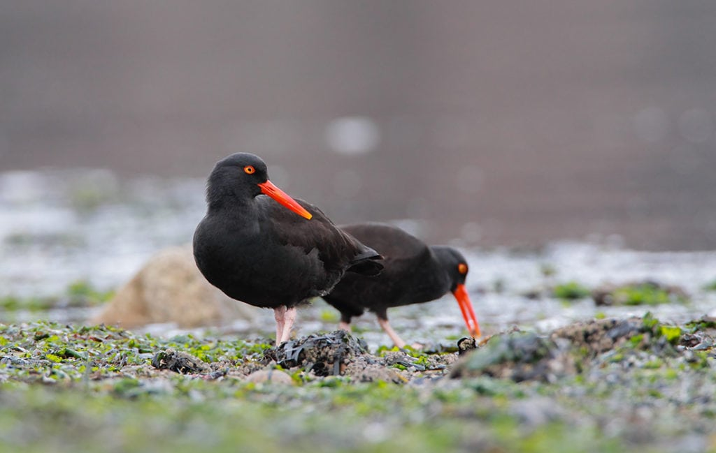 Oregon's Black Oystercatchers and Rocky Habitats: Revealing its Mysteries to Help Protect a Species of Conservation Concern