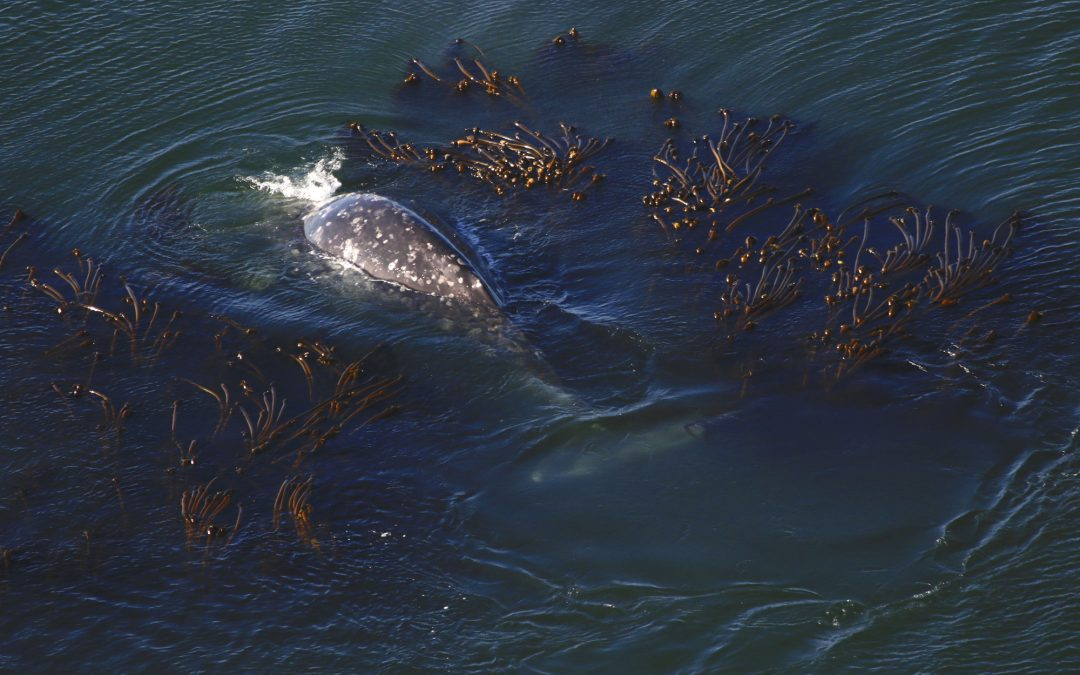A Small Piece of a Large Puzzle: Investigating the Foraging Ecology of Gray Whales on the Oregon Coast