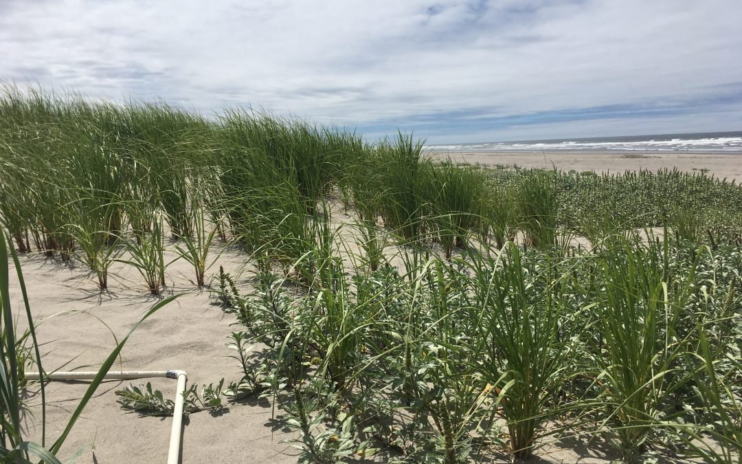 A New Kid on the Dune: The Unlikely Hybridization Between Two Non-native Beachgrass Species in the PNW